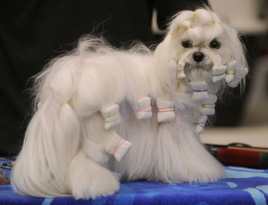 Pictures From 2010 Westminster Dog Show