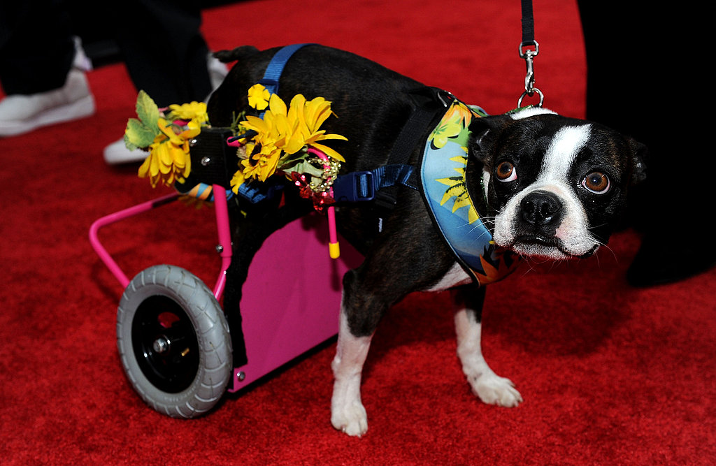 """Awww, """"Nuts"""" —All About The Back-Up Plan's Disabled Doggie"""