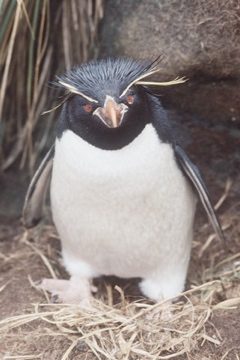 Rockhopper penguins are small, aggressive, crested penguins who get their name because they hop from boulder to boulder when moving around their rocky colonies. Source: Australia Antarctic Division