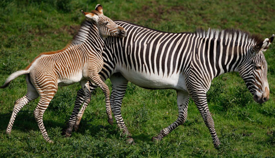 Grévy's zebras do not live in harems like their other striped cousins. Rather, the females and babies travel together in loose bands while males establish territories by making loud sounds and dung piles.