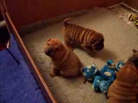 Chinese Sharpei Puppy Party!: In the LINK of an Eye