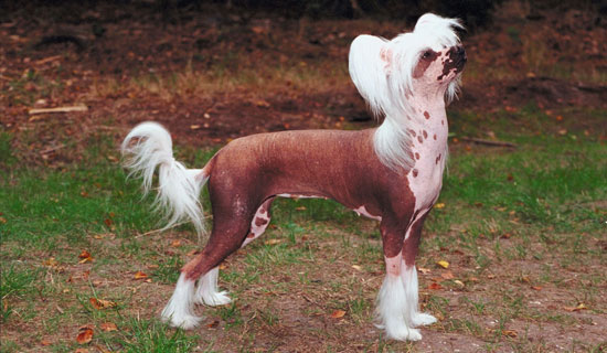 Chinese Crested Dogs Facts