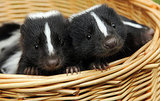 Pictures of Baby Skunks