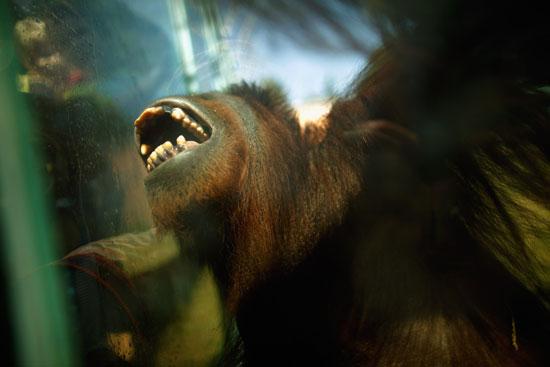 Orangutans at the National Zoo