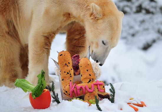 Knut the Polar Bear Born on Dec. 5, 1996 and His Fourth Birthday Celebration in Germany