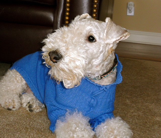 You don't have to be a teacup-sized doggie to snuggle up in a sweater! Source: Flickr user Gloria Manna