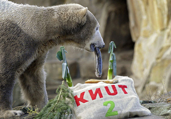 Knut digs into a fish for his second birthday.