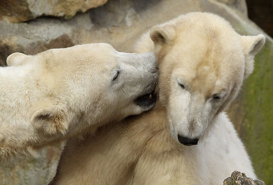 Knut and his new pal Giovanna get playful in Knut's enclosure.