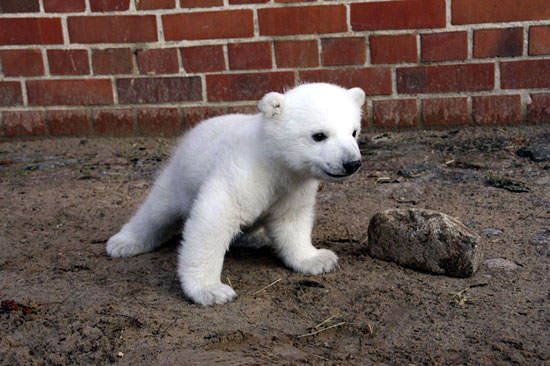 Knut gets used to his surroundings at the Berlin Zoo.