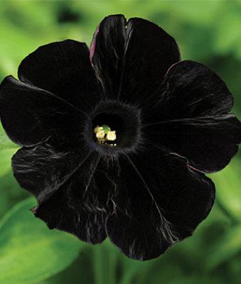 Petunia, Black Cat - Petunias at Burpee.com