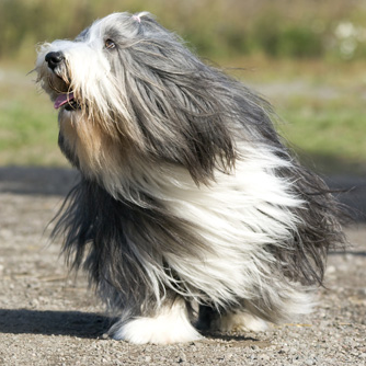 All About Bearded Collies