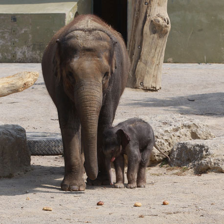 Did you know that elephants are the largest land animals now living? A newborn weighs an average of 250 pounds!