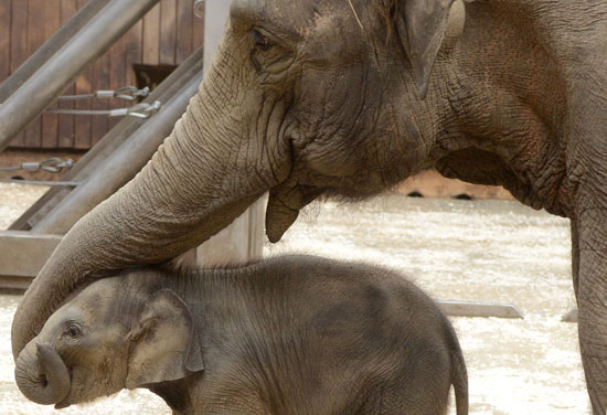 """Elephants and their calves """"hug"""" and greet each other by intertwining trunks."""