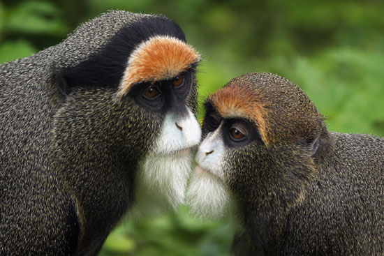 Seemingly sagacious with their white beards, De Brazza's monkeys are shy creatures that often stand completely still as a defense mechanism.