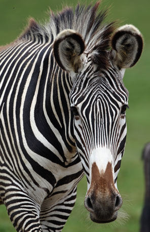 The Grévy's zebra is more donkey-like in appearance than its cousins, the plains and mountain zebras, which are more horse-like.