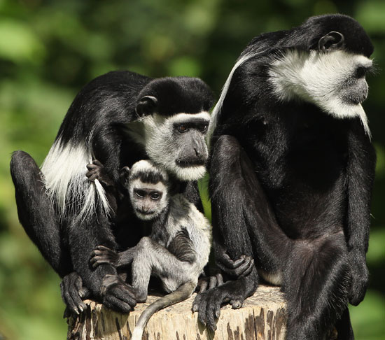 Black and white colonbus monkeys hanging out.