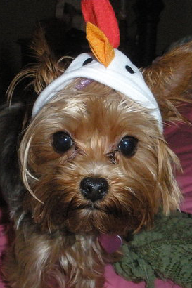 Pet Pic of the Day: Chicken Little