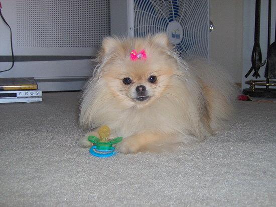 Cutie toot Girl! My baby doll Pomeranian