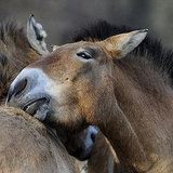 Nuzzling Horse Picture