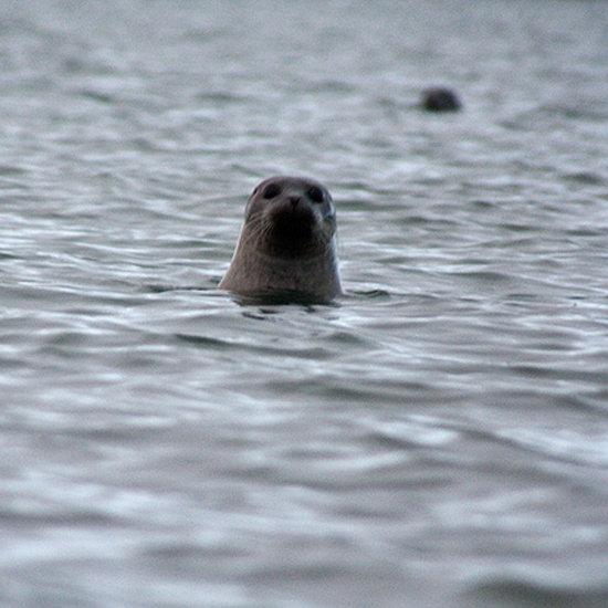 Icelandic Seals