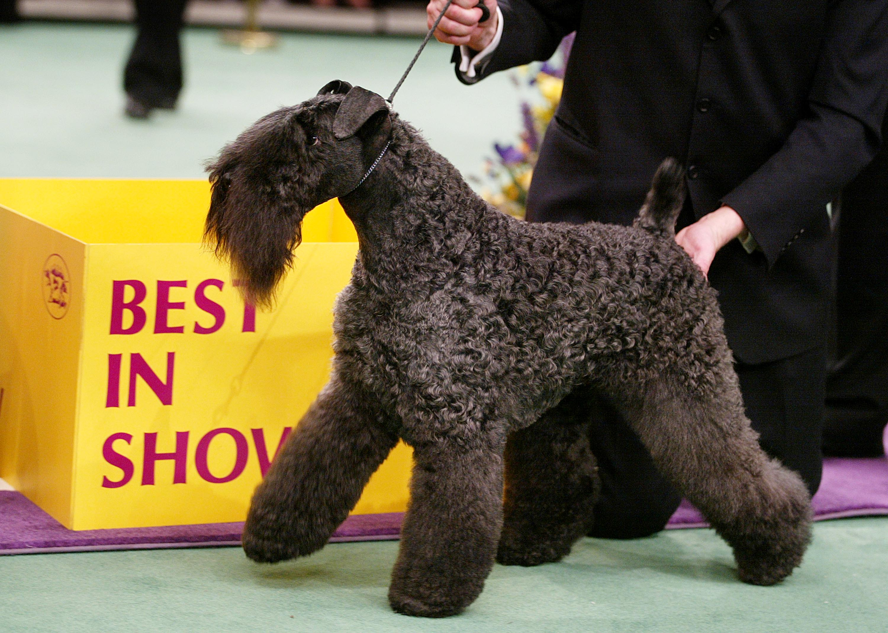 Ch Torums Scarf Michael, a Kerry blue terrier, won best in show in 2003.