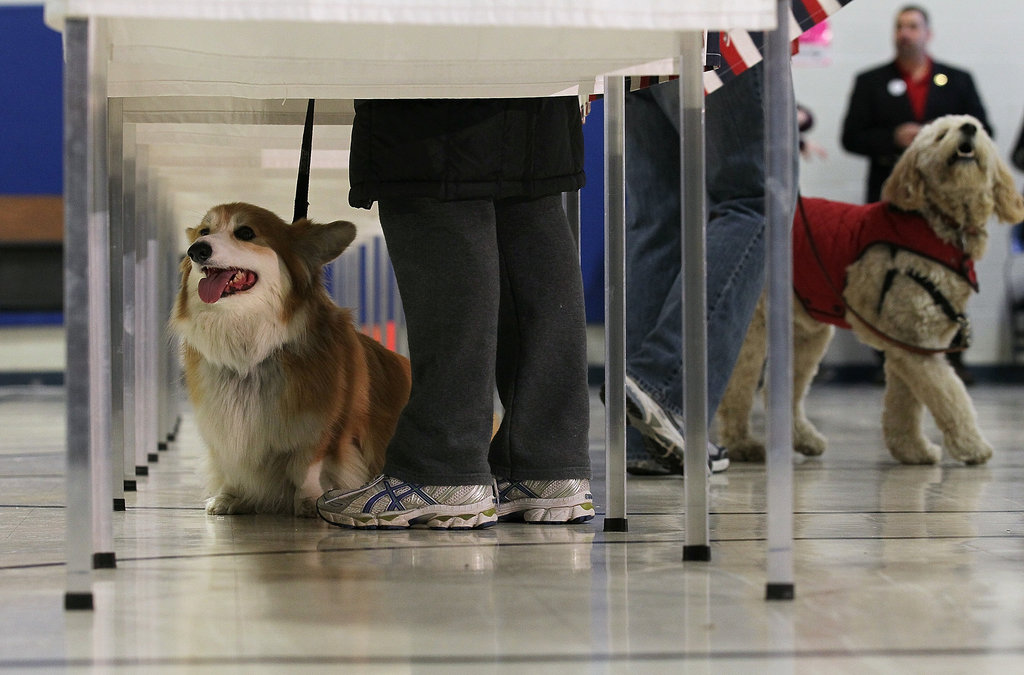 A few pups perform their civic duty during the New Hampshire primary in January.