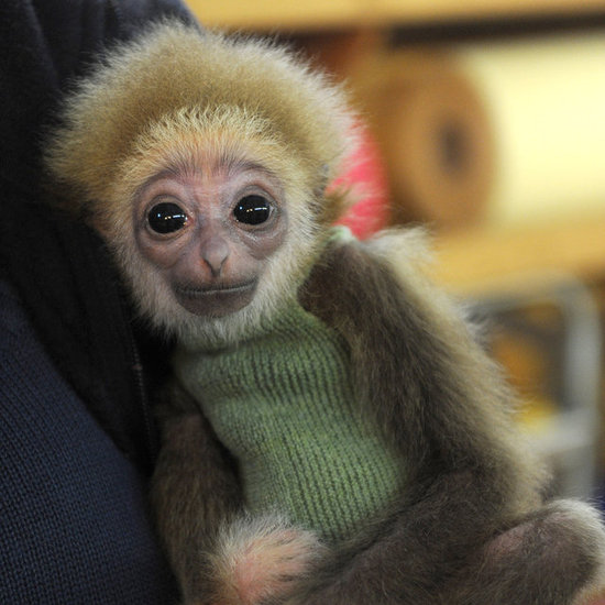 Cute White-Handed Gibbon Baby at Bremen Zoo