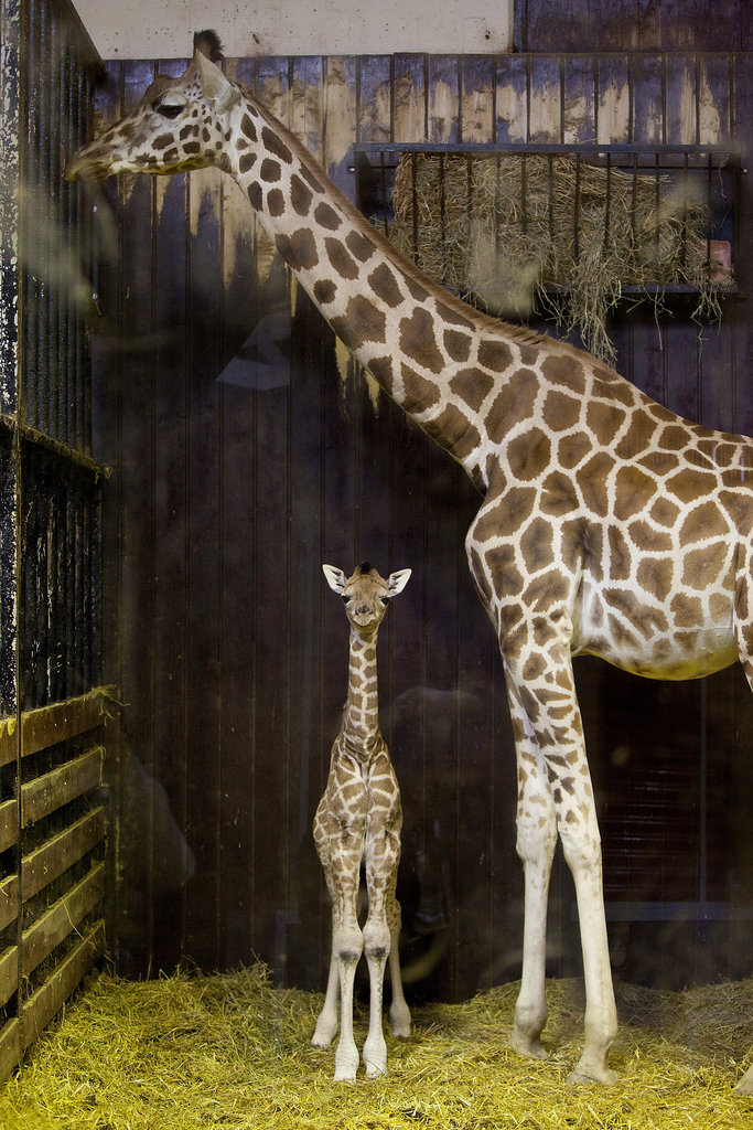 A newborn giraffe measures about 6 feet tall but will eventually grow to tower at 16 to 20 feet!