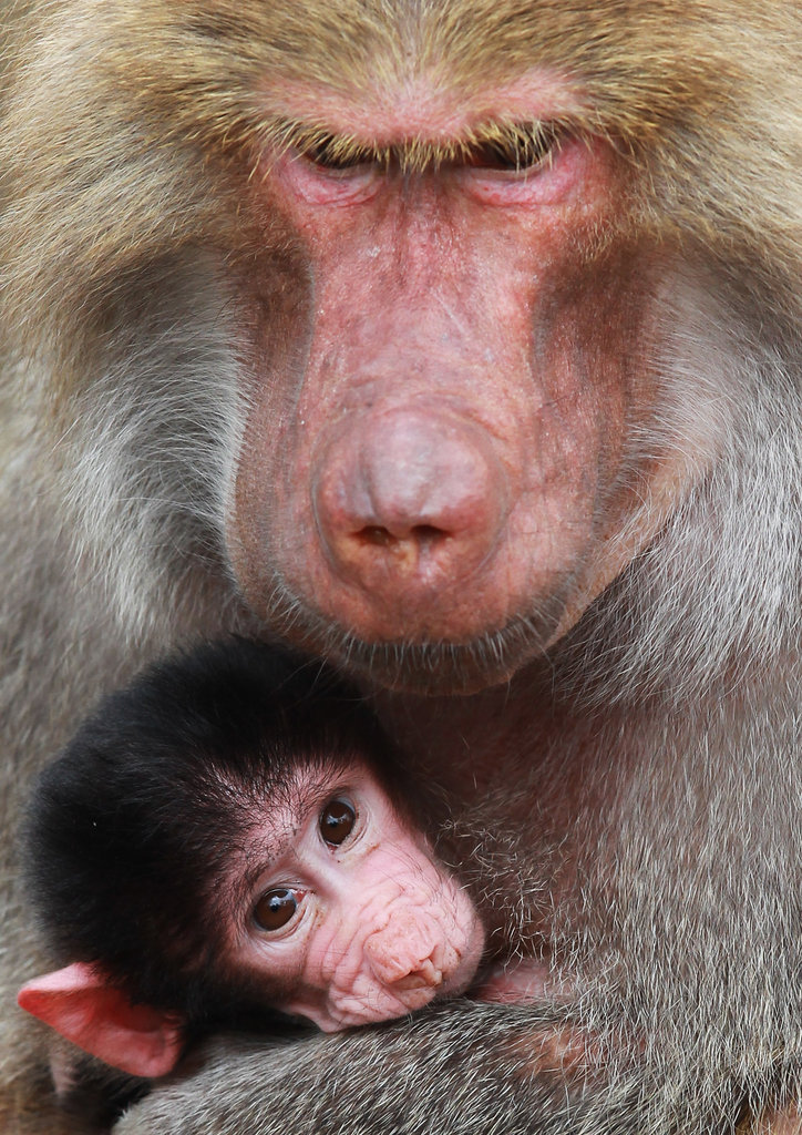 This babe in arms snuggles with mom at Hagenbeck Zoo.