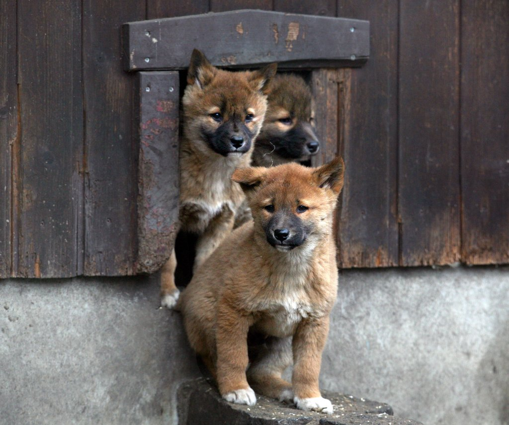 These pups play follow the leader as they exit their den.