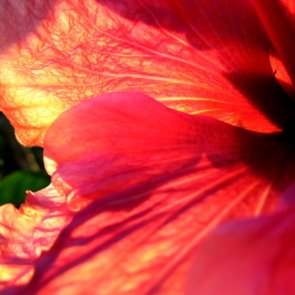 Cooking With Hibiscus Flowers