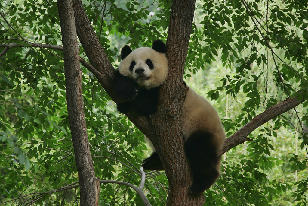 In the wild, a giant panda's diet is almost exclusively bamboo, but they have been known to munch on an occasional small rodent or musk deer fawn.