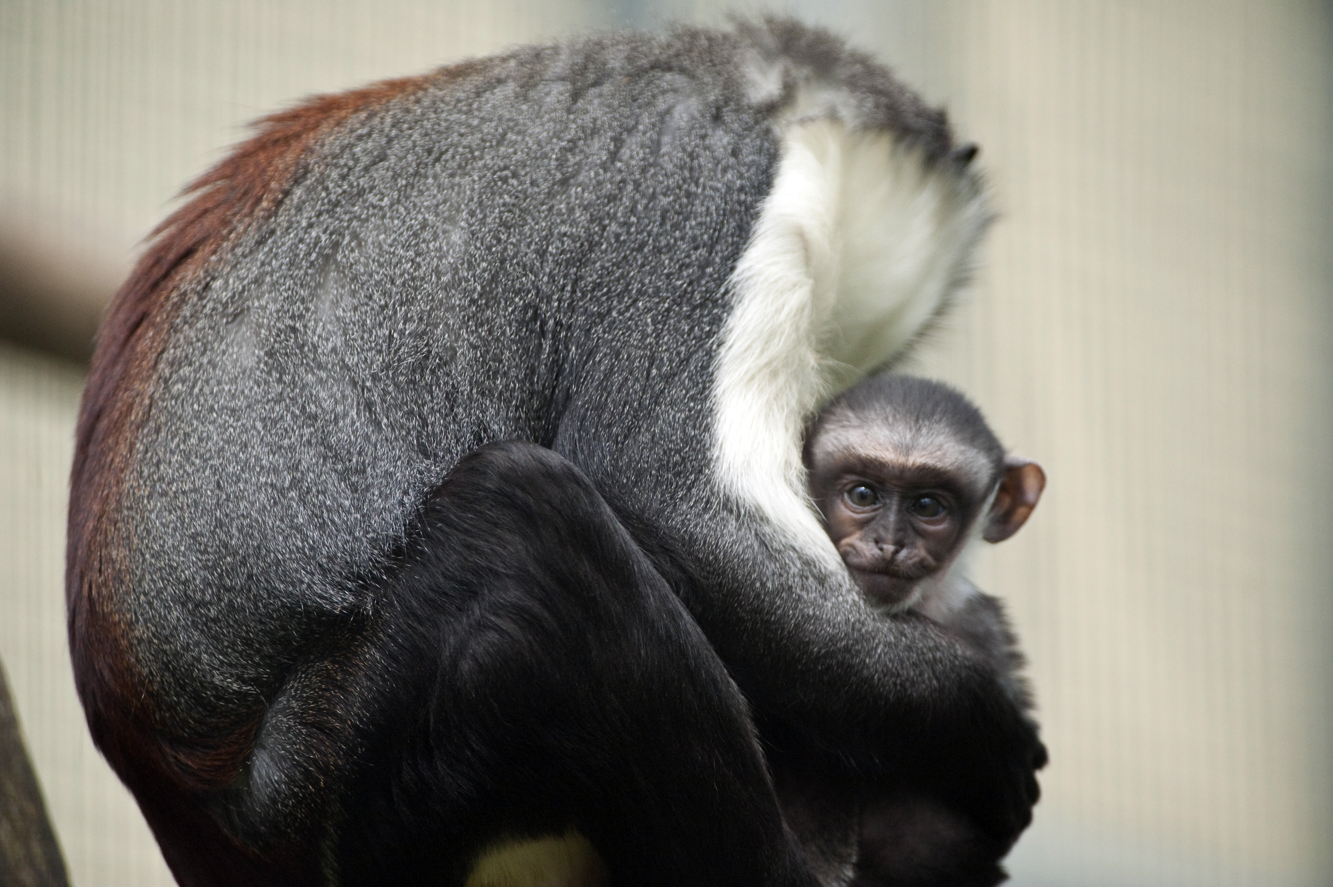 They may be one of the 25 most endangered primate species in the world, but this Roloway monkey appears awfully safe and snug with his mama.