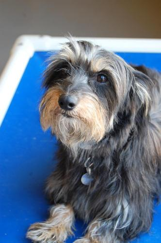 Patty Pan, a Yorkie-Dachshund Mix | Looking For Love: 10 Adoptable ...
