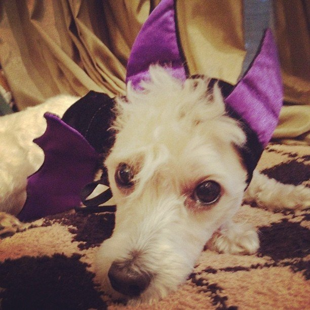 Sarah Hyland put her dog in a bat costume. Source: Instagram user Sarah Hyland