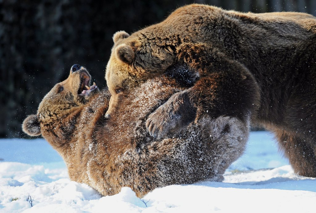 Two brown bears wrestled in the snow in Straubing, Germany.