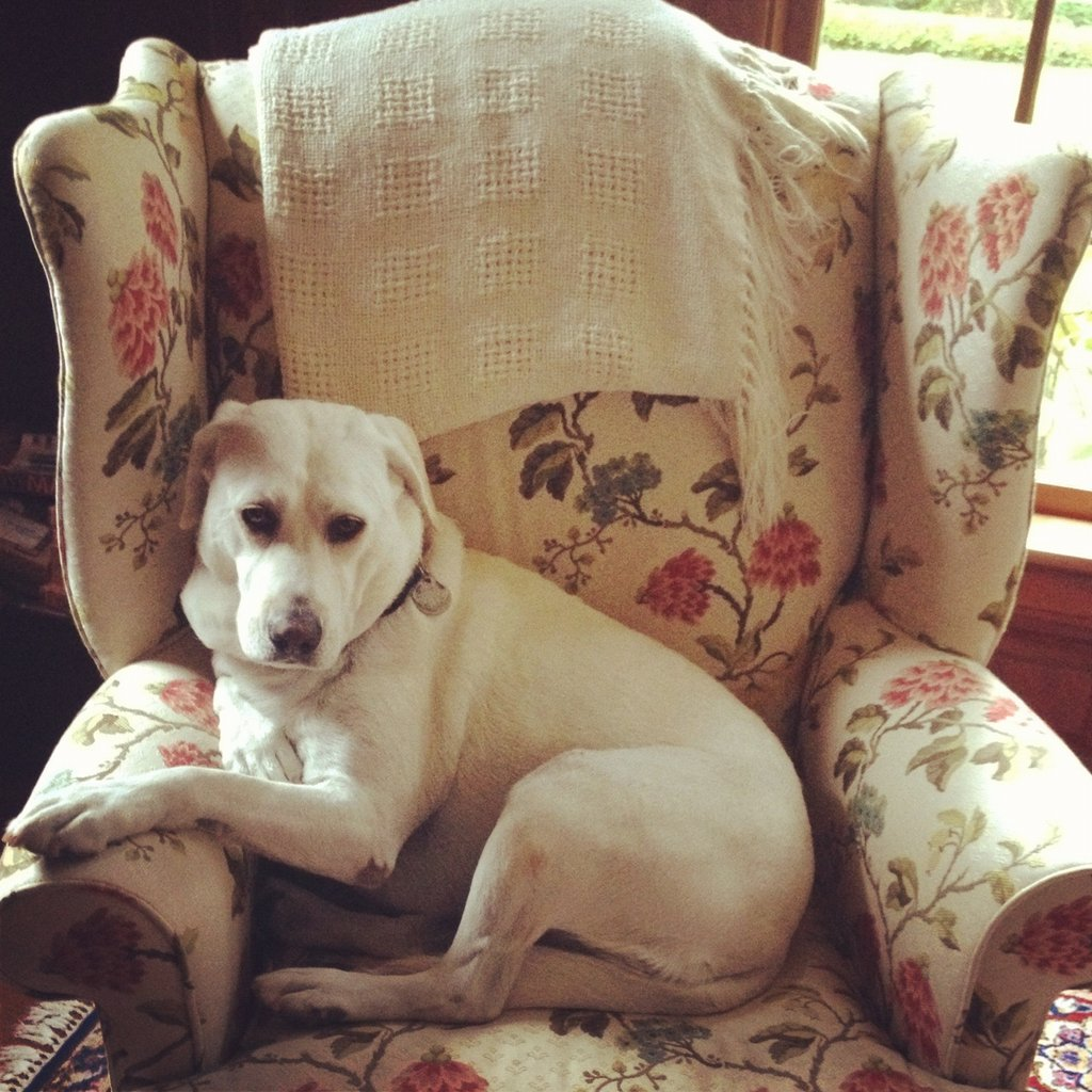 Member Services Assistant Molly McGlynn's Labrador, Mulligan, lounged on a pretty armchair.