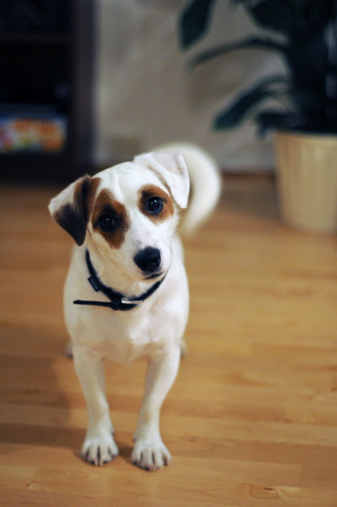 Russell Terrier: An Old Breed
