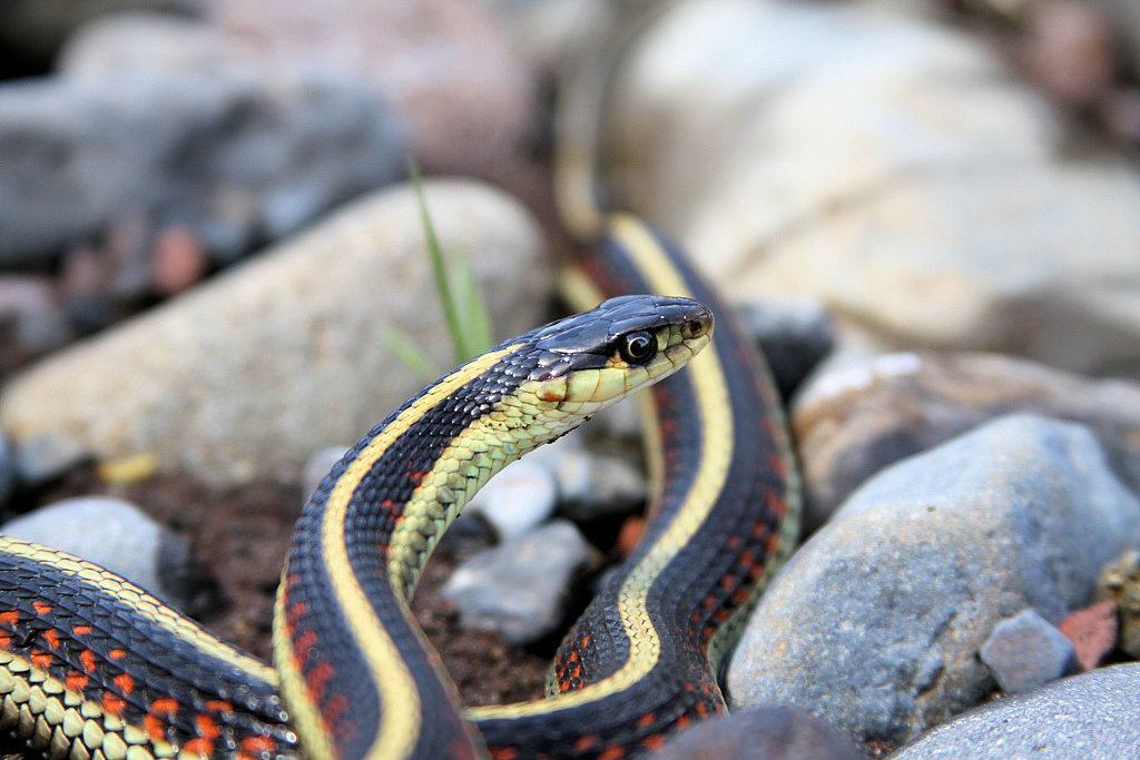 There are more than 3,000 kinds of snakes in the world, from 28-foot-long pythons to small garden snakes. And these reptiles live in the sea, on land, and in trees. Source: Flickr user Jon David Nelson