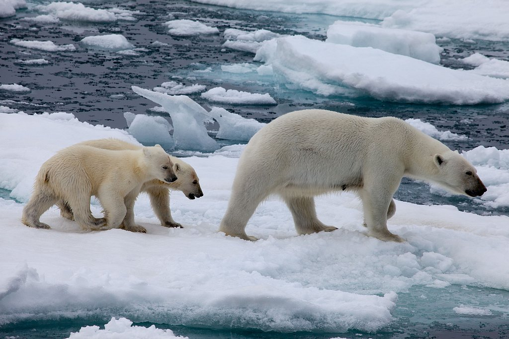 Polar bears are born on land but spend the majority of their time at sea. Photo courtesy of Warner Home Entertainment