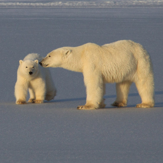 To the Arctic: Polar Bears Are Stunning Stars