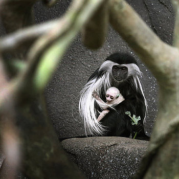 Baby Angolan Colobus Monkey | Pictures