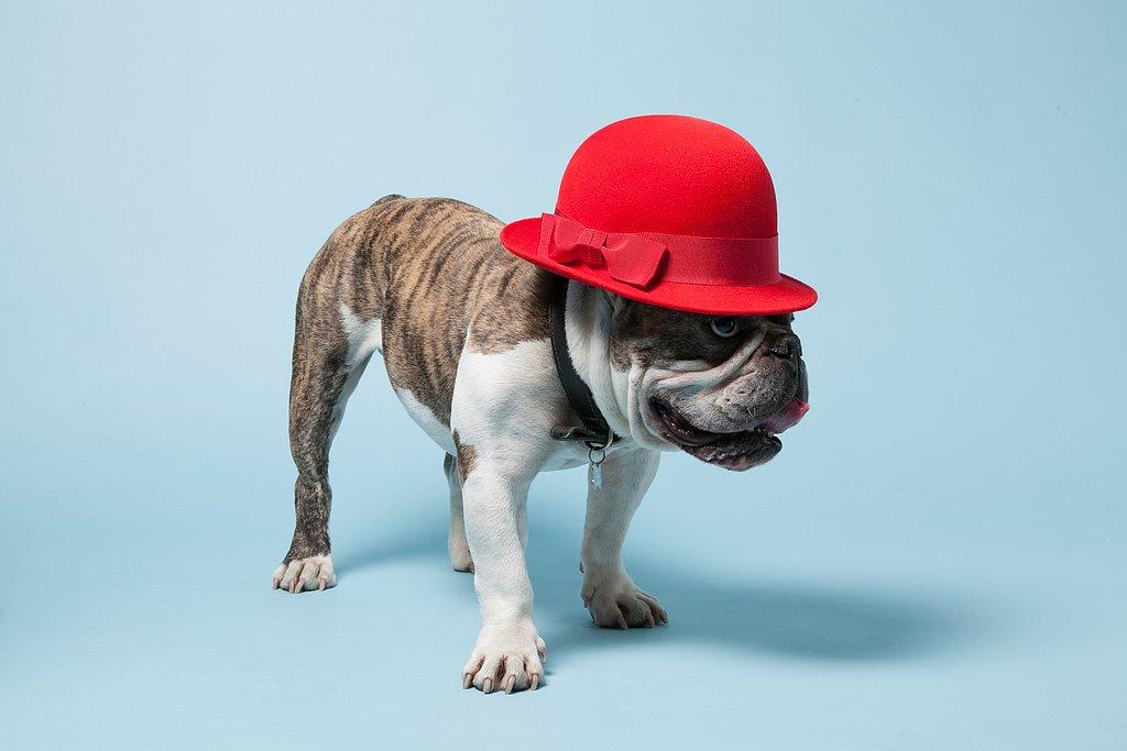 Papillon, a British Bulldog, wearing Marie Mercie's Thelma Cloche Hat ($385). Photo courtesy of Avenue32.