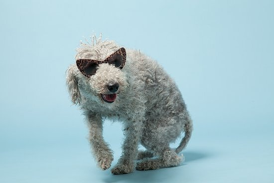Bedlington terrier Wilfred is too cool for school — just look at that swagger! Photo courtesy of Avenue32