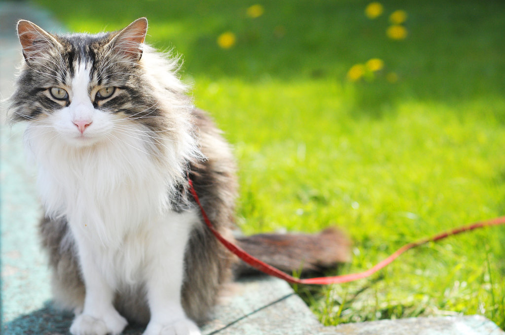 how to put on a petsafe cat leash instructions