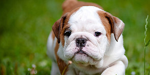 What Do You Know About Bulldogs?