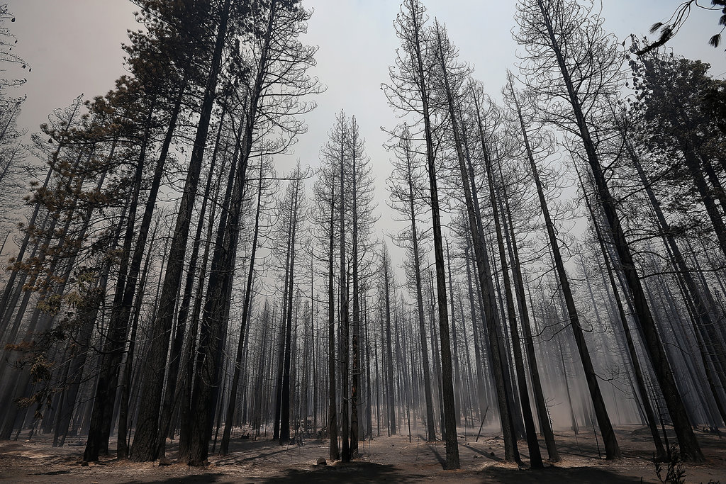 Burnt trees stood in the smoky aftermath of the Rim Fire.