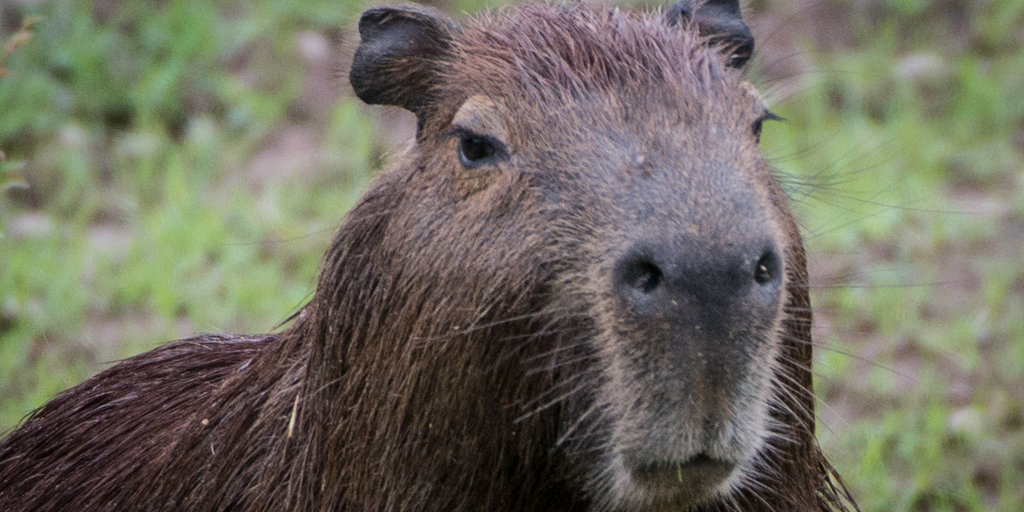 Who's Sadder Than Eeyore? These Capybaras That Need Cheering Up