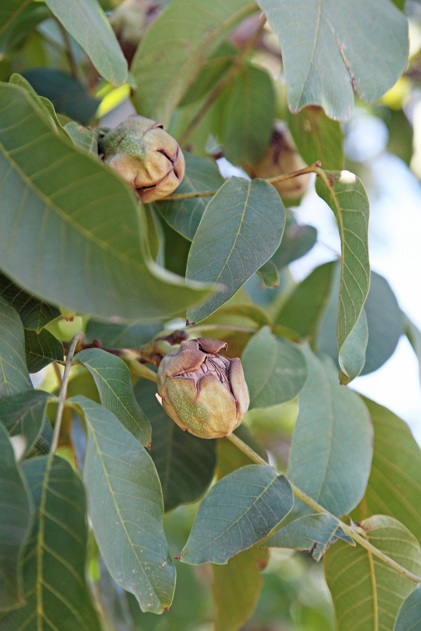 Walnuts on the Tree