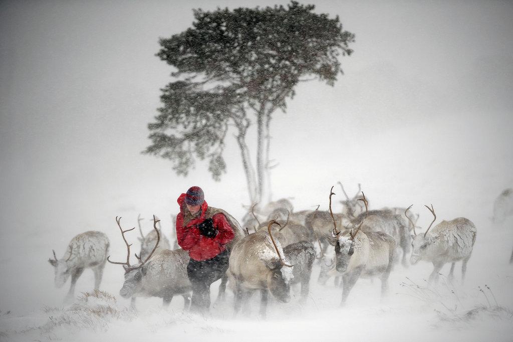A reindeer herder fed the deer in Aviemore, Scotland.